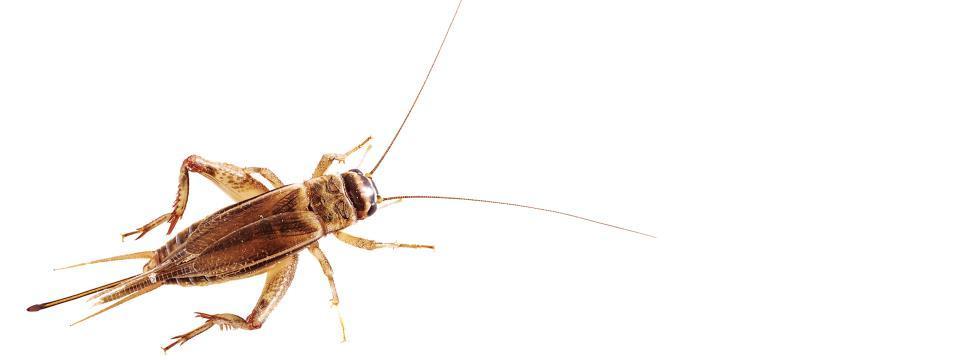 cricket, powder, protein
